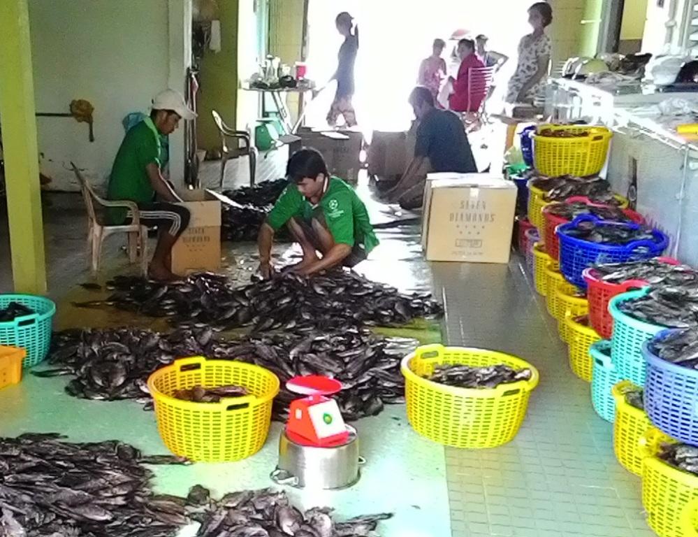 Ông Ba Đức được xem là người đầu tiên nuôi cá bổi ở vùng đất Cà Mau