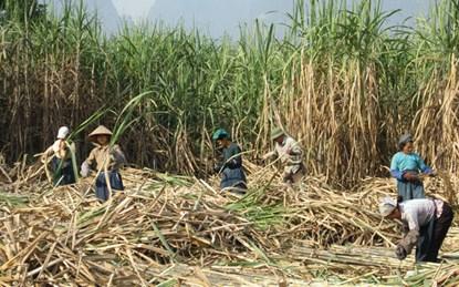 Về tranh luận giữa Bộ Công Thương và Hiệp hội Mía đường: Làm sao để giúp nông dân?