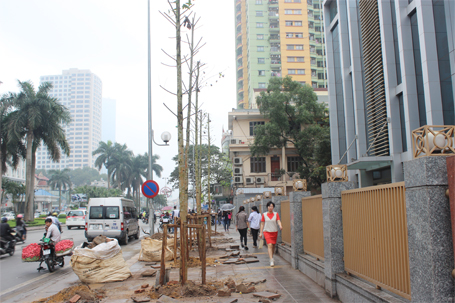 Đường phố Hà Nội không thích hợp trồng cây Vàng tâm?