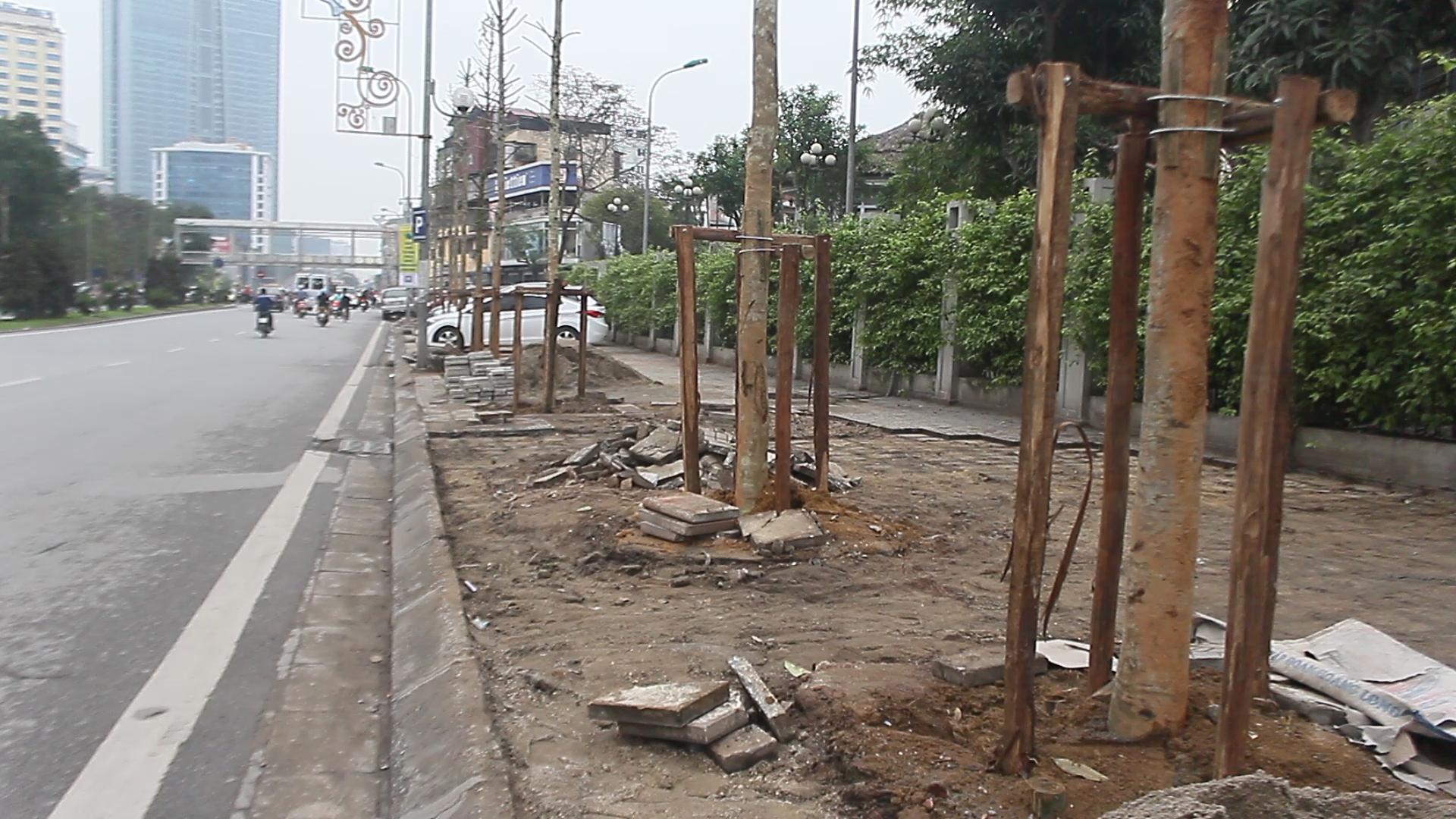 Những gốc cây mới được cho là cây Mỡ chứ không phải Vàng tâm trên phố Nguyễn Chí Thanh