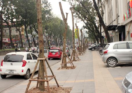 Hàng cây khẳng khiu, trơ trọi không cành lá mới được trồng thay thế trên một số tuyến phố Hà Nội