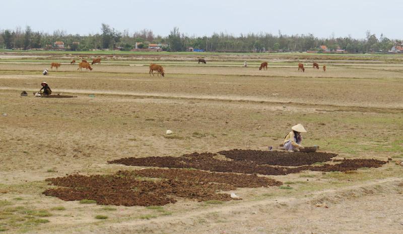 phân bò, chuyện lạ, Phú Yên, tranh giành, mua bán, phân khô
