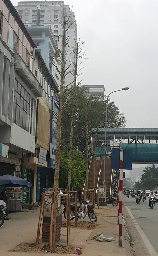 Đi tìm sự thật về hàng cây mới trồng trên đường Nguyễn Chí Thanh