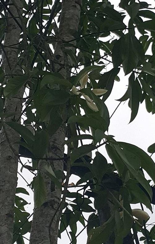 Loại cây gỗ mỡ được rất nhiều hộ gia đình trồng trên đồi tại xã Đại Lịch, Văn Chấn, Yên Bái.