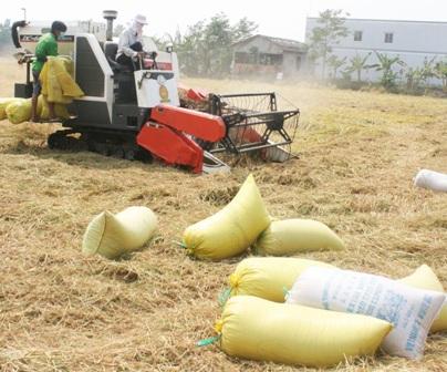 Nông dân ĐBSCL thu hoạch lúa trong nỗi lo rớt giá