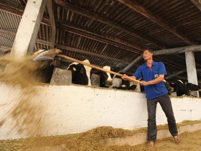Nông dân lại sắp đổ sữa vì doanh nghiệp không mua