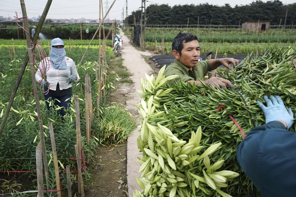 Trước khi trồng, những gốc kèn sẽ được để kho lạnh 7 độ C khoảng 2 tuần cho đến khi mọc rễ.