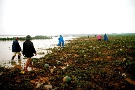 Huyện Đại Lộc có gần 90ha dưa bị ngập lũ