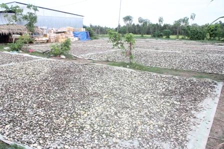 Sân phơi cam non xắt mỏng tại huyện Trà Ôn (Vĩnh Long)