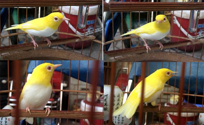 Chim biến đổi gen, hoàng khuyên, chơi chim, chim chào mào, chào mào bạch tạng, chơi chim cảnh, lồng chim, chim tiền tỷ, bộ sưu tập chim, chim-biến-đổi-gen, hoàng-khuyên, chơi-chim, chim-chào-mào, chào-mào-bạch-tạng, chơi-chim-cảnh, bộ-sưu-tập-chim, chim-t