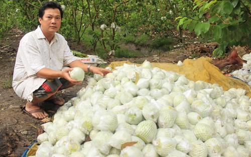 Ổi rớt giá thê thảm, nhiều hộ dân bỏ không thu hoạch