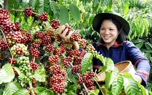 Cà phê - cây trồng chủ lực của Tây Nguyên.