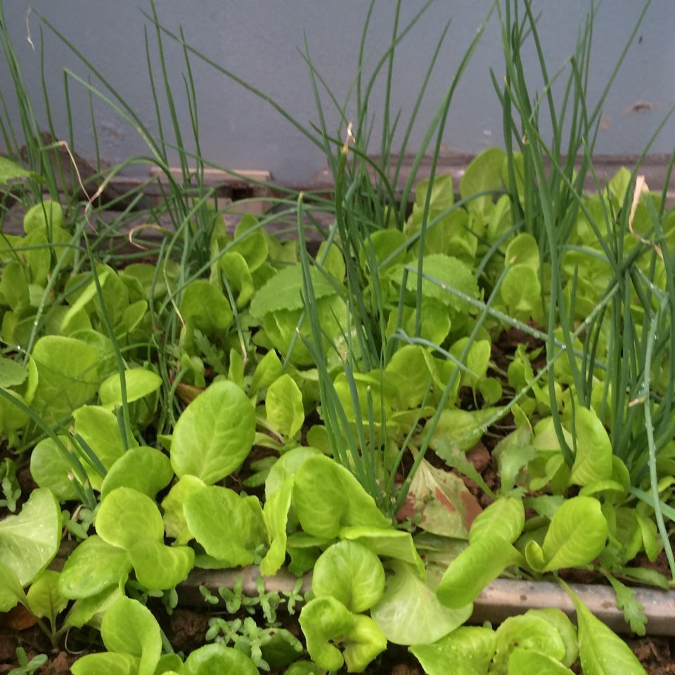 Rau củ trồng trong thùng xốp là hình ảnh không mấy xa lại với người thành phố.