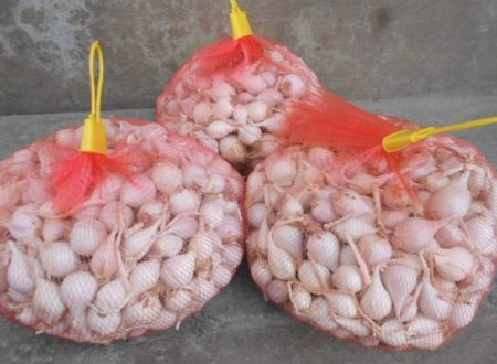 Mua tại đảo Lý Sơn, 1kg tỏi cô đơn được gói trong túi như thế này.
