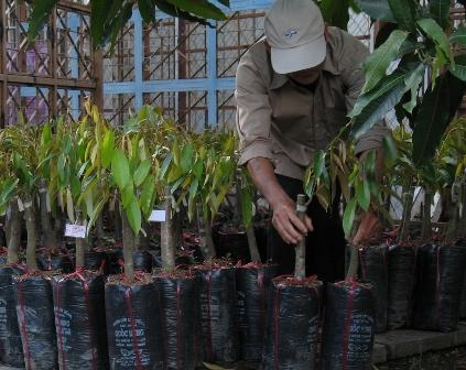 Giá cây giống sầu riêng cơm vàng hạt lép đang ở mức cao