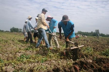Vĩnh Long: Xót xa: Khoai lang rớt giá thảm, đổ đống đầy đồng