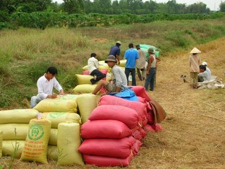 Nông dân đang bán lúa cho thương lái