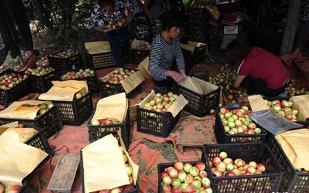 Đào ế mặc dù giá bán rất thấp chỉ 1 nhân dân tệ/kg.