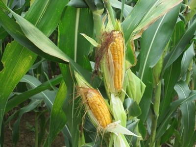 Vì sao Việt Nam cho thương mại hóa cây trồng biến đổi gen?