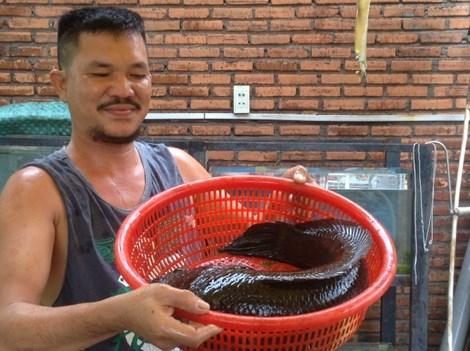 Choáng với cá lóc khủng nuôi trong... hồ kiếng