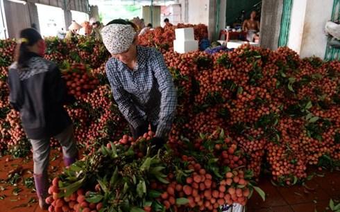 """AFP: Trung Quốc đang """"làm khó"""" vải thiều Việt Nam"""