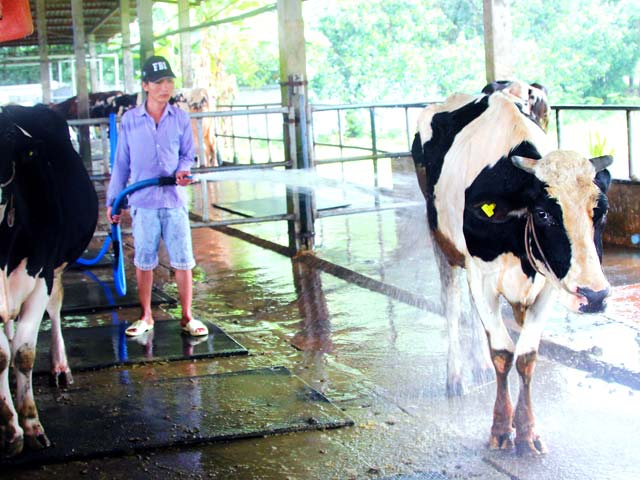 Nông dân nuôi bò sữa thua lỗ, phá sản là thực trạng khó tránh khỏi