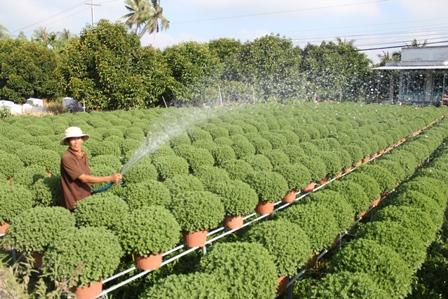 Dân làng hoa kiểng Chợ Lách đang tất bật vào vụ hoa tết