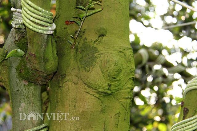 2 cây mai cổ của ông Tiêu Hồng Minh có bộ rễđẹp, nhiều nu (những cục u nổi tự nhiên trên thân cây), nhánh to