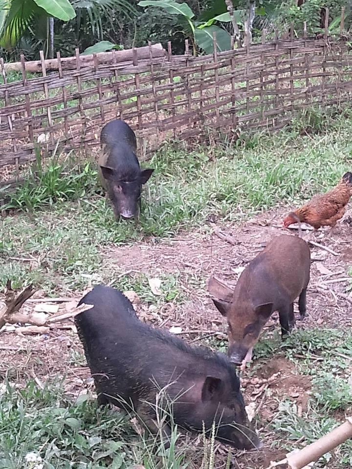 đặc sản lợn rừng, gà rừng, đặc sản, lợn mán, Tết nguyên đán, gà Đông Tảo, thuốc tăng trọng,đặc-sản-lợn-rừng, gà-rừng, đặc-sản, Tết-nguyên-đán, gà-Đông-Tảo, thuốc-tăng-trọng
