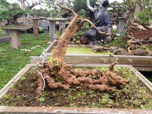 Cây dâu da được tạo tác thành cây cảnh.