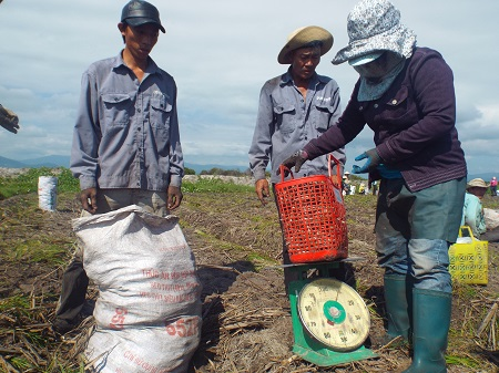Cân kiệu trên ruộng sau khi kết thúc một buổi thu hoạch