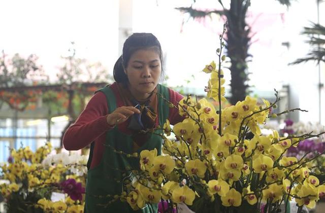 Mỗi gốc lan hồ điệp chỉ có một cành, qua đôi bàn tay khéo léo của những người cắm hoa, chúng được kết vào một chậu rực rỡ sắc mầu.