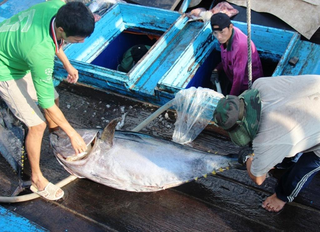 Ngư dân Bình Định đánh bắt cá ngừ đại dương bằng thiết bị hiện đại của Nhật Bản