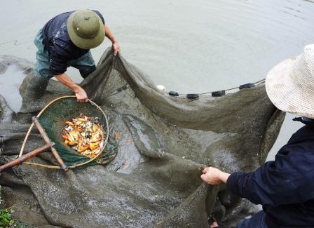Người dân thu hoạch cá chép đỏ