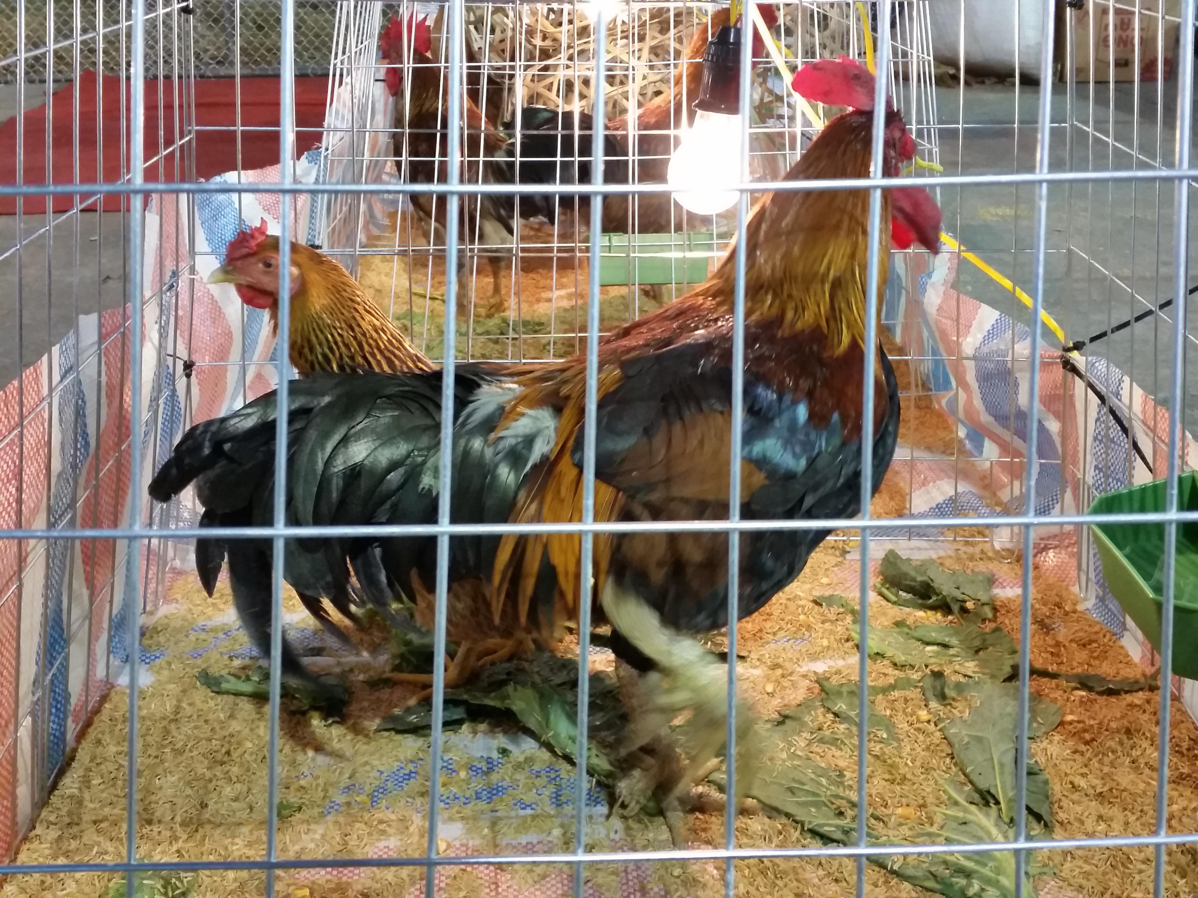 Bỏ chục triệu mua gà 9 cựa về cúng Tết