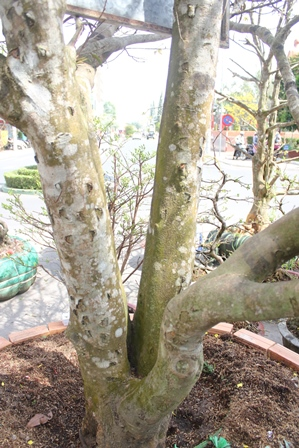 Khi lên cao từ gốc mai chia ra3 nhánh lớn