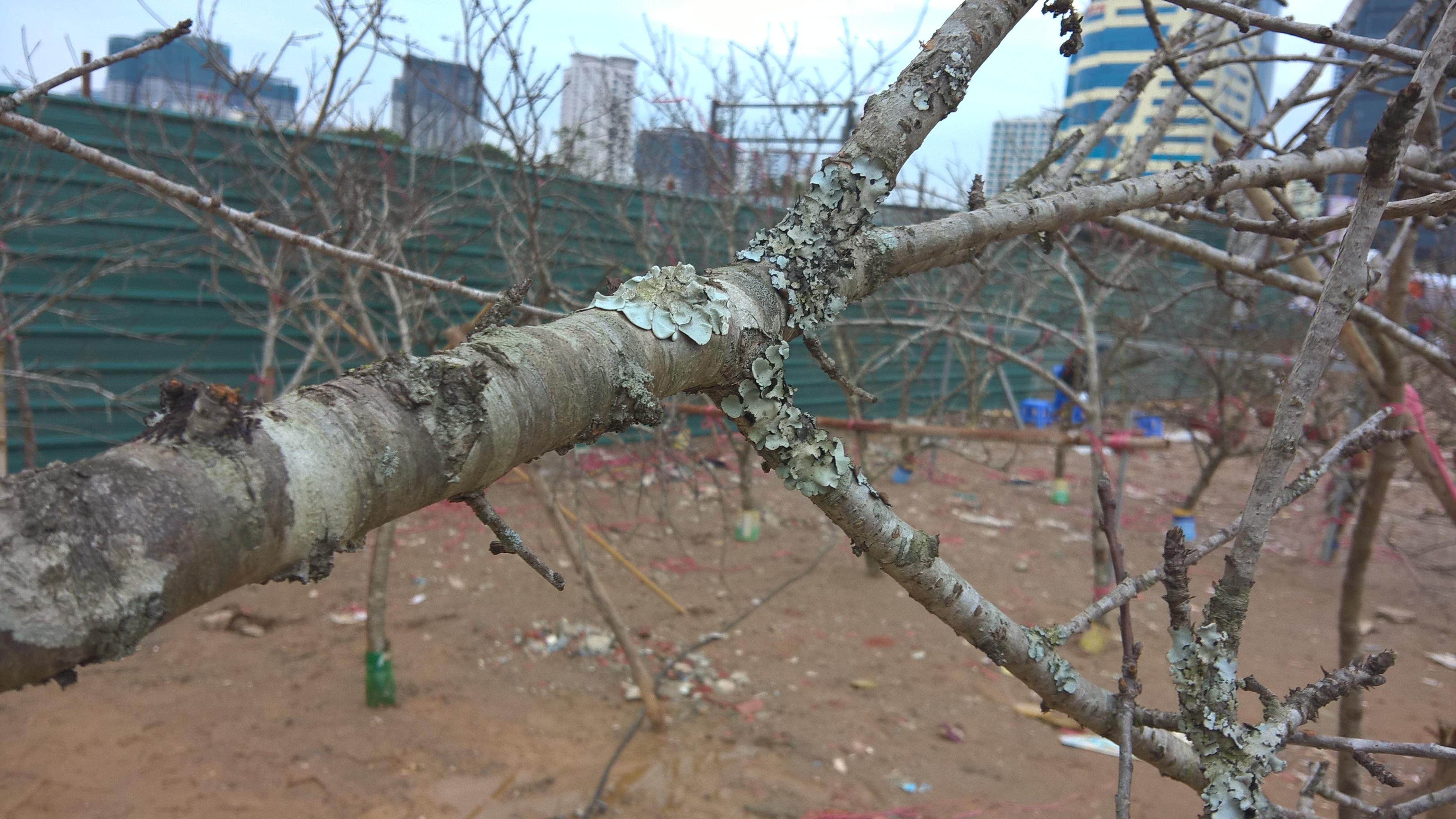 Rất nhiều loại đào rừng bị chặt hạ, theo một đầu mối bán đào rừng, để có được một cành đào rừng cao 3 mét, trổ hoa và có thể trưng tết, phải mất từ 3 - 5 năm sinh trưởng. Còn các loại gốc to, tán đẹp, phải đến chục năm, giá hàng chục triệu cũng không có mà bán.