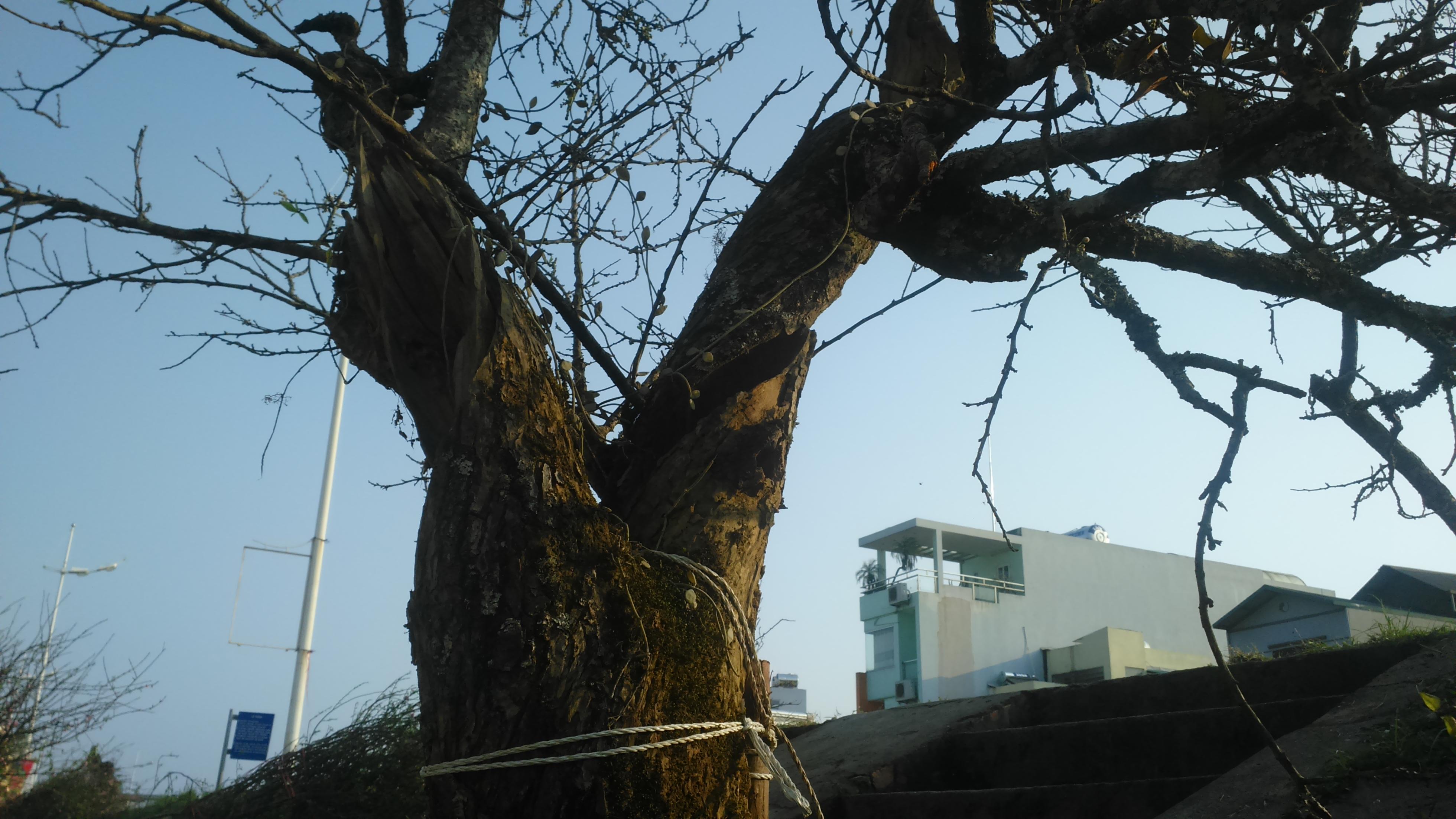 Cận cảnh cây mơ rừng trên 10 triệu trên phố Hà Nội