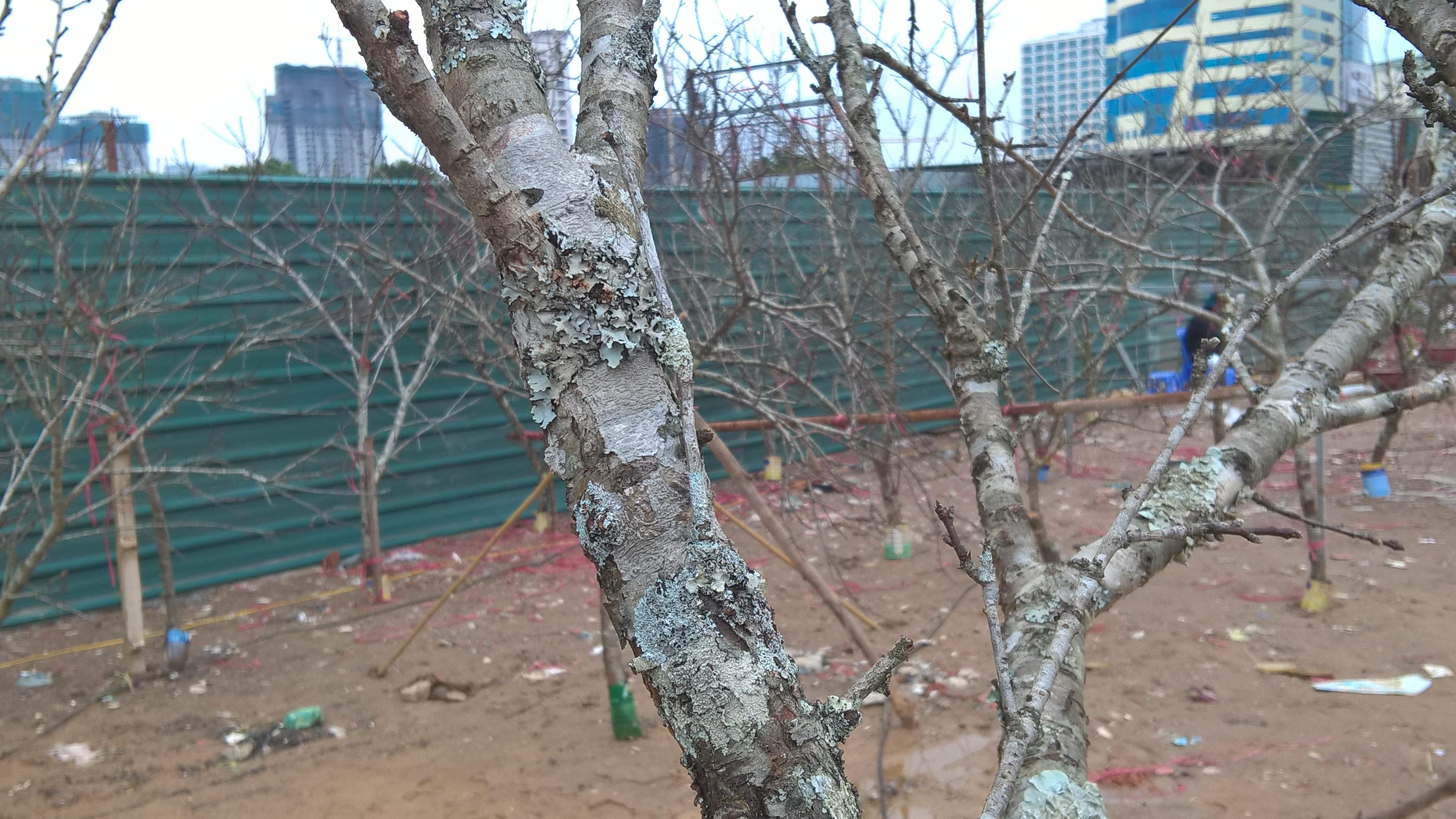 Tại Hà Nội, hầu hết hội hoa xuân nào cũng có gian trưng bày đào rừng, mơ núi. Giá của những loại cây cảnh này nằm ở yếu tố tự nhiên. Dù có người tẩy chay vì hoạt động khai thác đào rừng, mơ rừng đang phá hủy hệ sinh thái và môi trường nhưng cận tết mấy năm gần đây, loại cây này ngày càng xuất hiện nhiều ở Hà Nội