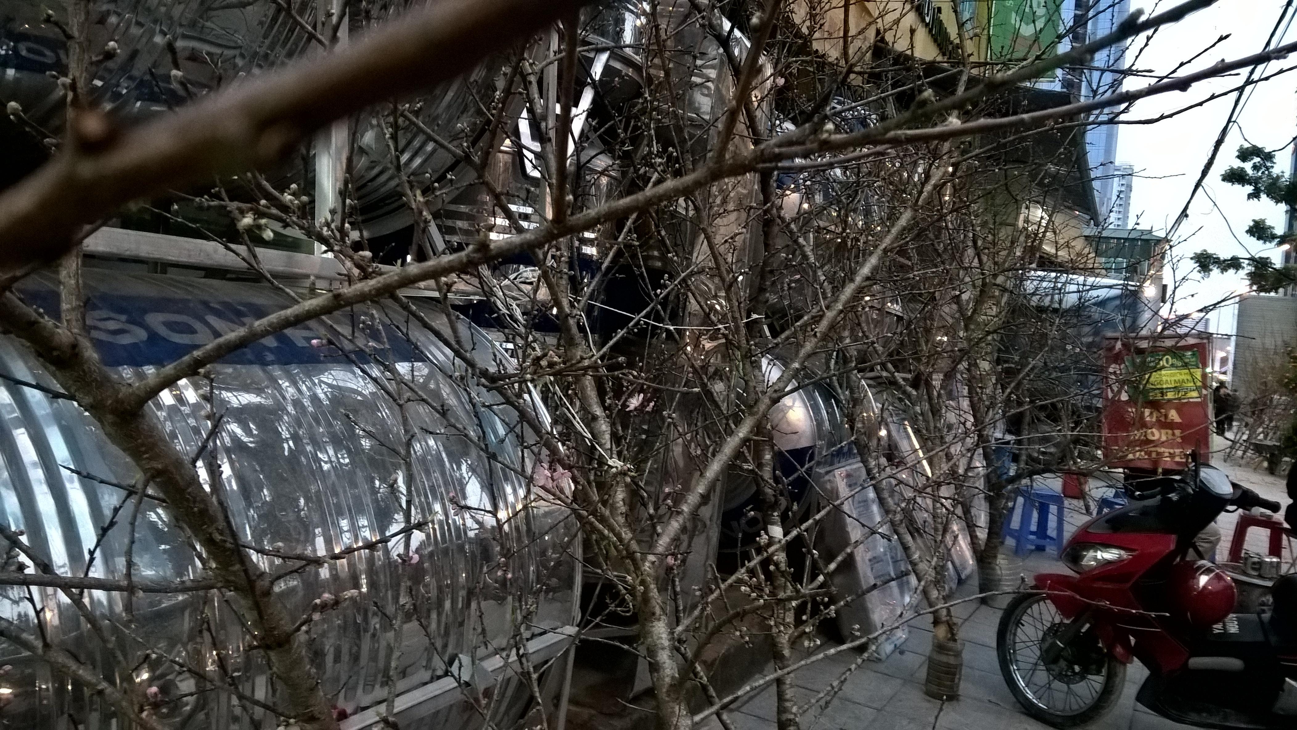 Một phố đào rừng mới xuất hiện trên đường Láng Hạ. Giá đào tại đây khá chát, bình quân 3 triệu đồng/cành