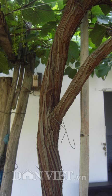 Thân cây nho dại