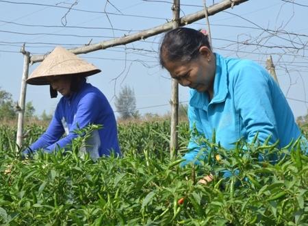 Trồng ớt bán sang Trung Quốc, người trồng ớt luôn lo lắng khi giá biến động bất thường.