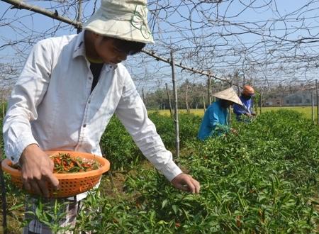 Giá ớt bất ngờ vọt lên 40.000 đồng/kg, nông dân tranh thủ đội nắng