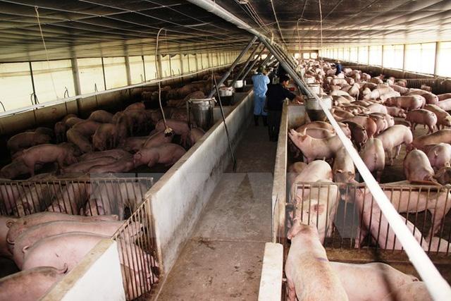 Trang trại nuôi lợn hợp đồng nuôi gia công cho Công ty Cổ phần Chăn nuôi C.P Việt Nam tại Tây Ninh. (Ảnh: Lê Đức Hoảnh/TTXVN)