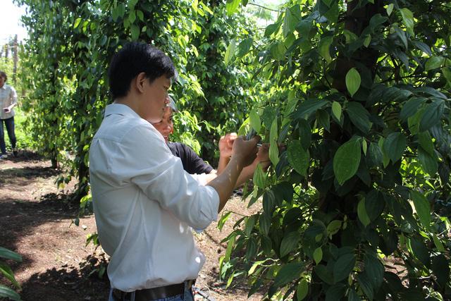 Thị trường hồ tiêu Việt: Thương lái Trung Quốc lũng đoạn