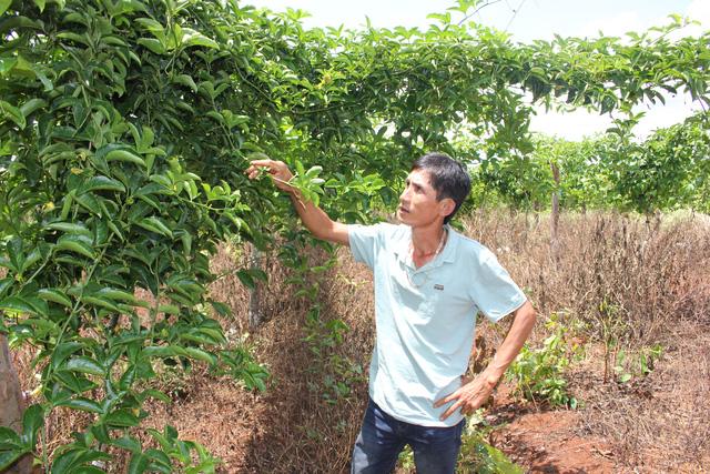 Chanh dây của người dân trồng không ra quả