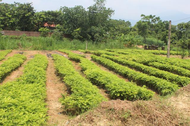 Vườn sưa lấy quả để gieo