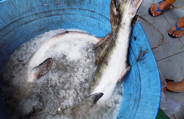 Cá bớp nuôi trong lồng bè chết bỗng nhiên chết hàng loạt