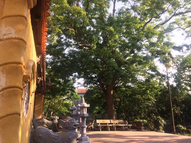 Đình làng Đông Cốc vẫn còn 1 cây sưa 400 tuổi