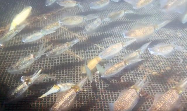 Mực sống đang bơi tung tăng 1 triệu đồng/kg về Hà Nội cháy hàng